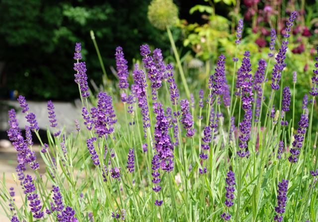 Lavender in Oxshott garden Lisa Cox Designs