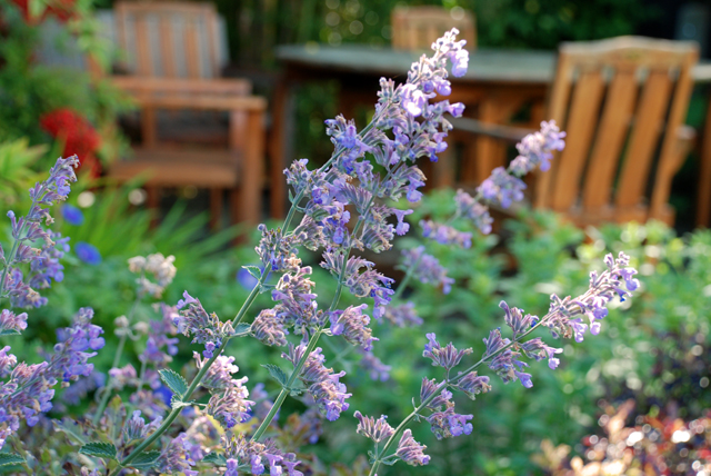 Nepeta Six Hills Giant Lisa Cox Garden Designs