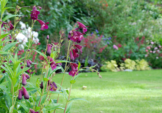 Penstemon in Oxshott garden Lisa Cox Designs
