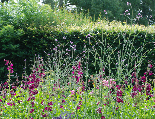 Penstemon & verbena in Oxshott garden Lisa Cox Designs