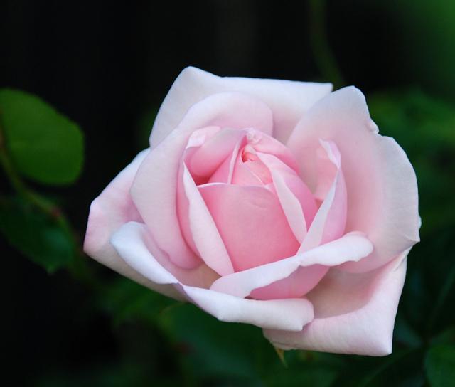 Pink climbing rose Lisa Cox Garden Designs