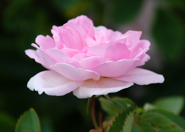 Pink rose at Loseley Park Garden Lisa Cox Designs
