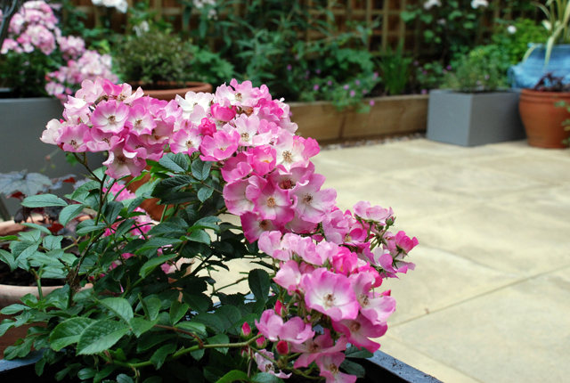 Rosa Ballerina Courtyard garden Bletchingley isa Cox Designs