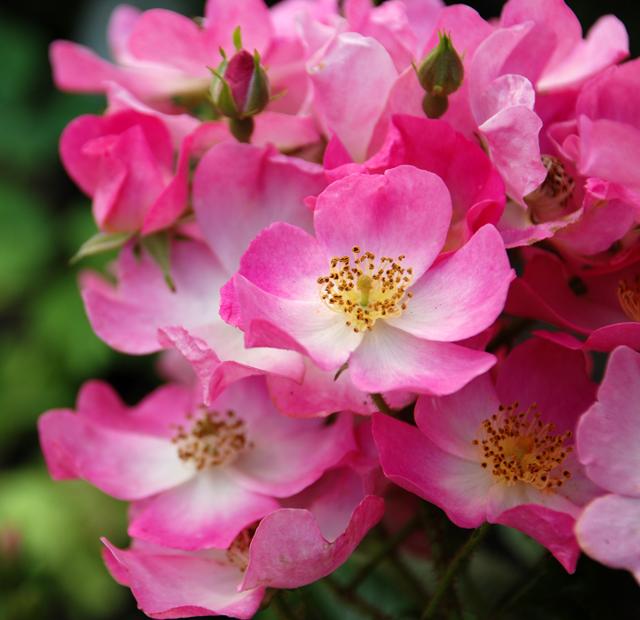 Rosa 'Ballerina' Lisa Cox Garden Designs