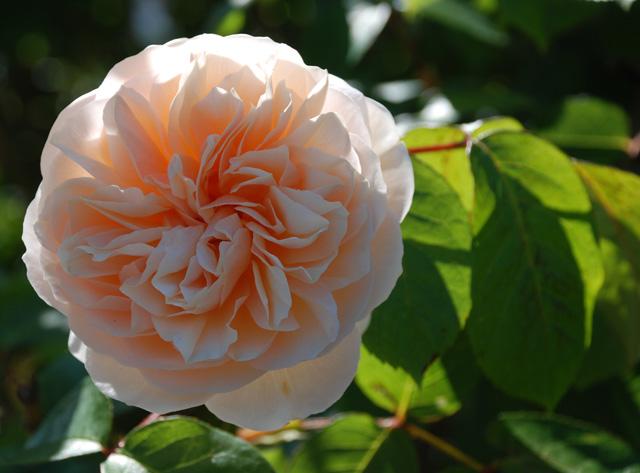 Rosa Buff Beauty Lisa Cox Garden Designs
