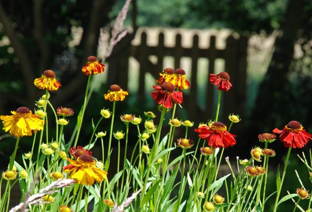 Helenium Morheim Beauty Lisa Cox Garden Designs