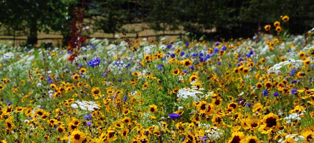 Wildflower meadow at Glyndebourne Garden Lisa Cox Designs - Copy