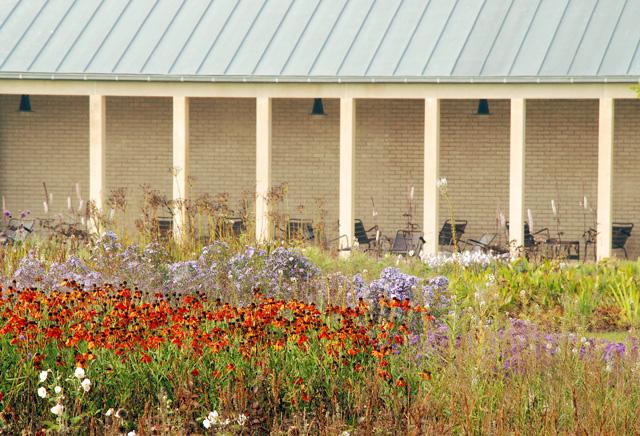 Helenium in Hauser & wirth garden Somerset Lisa Cox designs