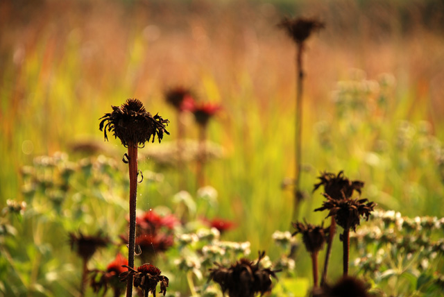 Monarda seed heads Lisa Cox Garden Designs