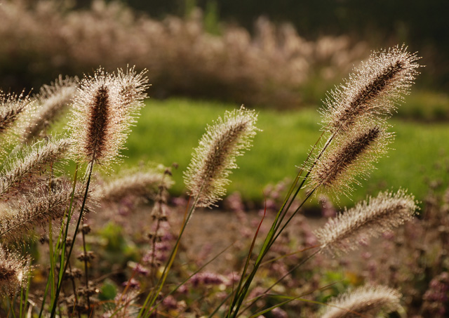 Pennisetum flower heads Hauser & Wirth Lisa Cox Designs
