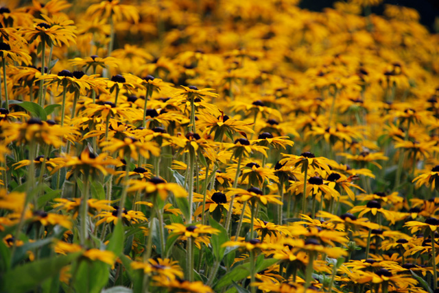 Rudbeckia fulgida 'Goldsturm' at Susses Prairies Lisa Cox Designs