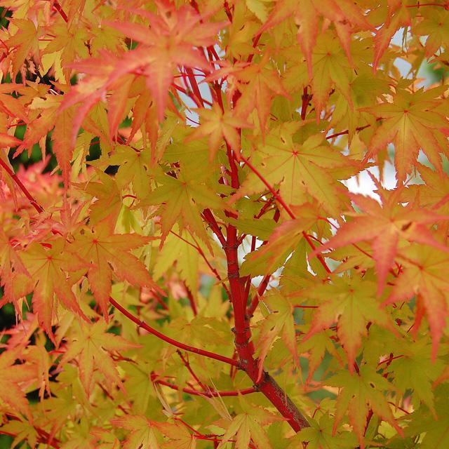 Acer palmatum Sango Kaku by Oakridgeshrubbery