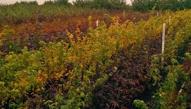 Field grown acers at Pannebakker nursery Holland