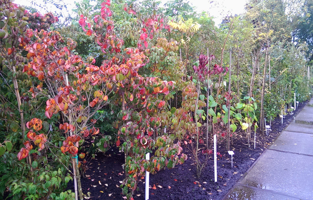 Field grown shrubs at Bulk nursery Holland