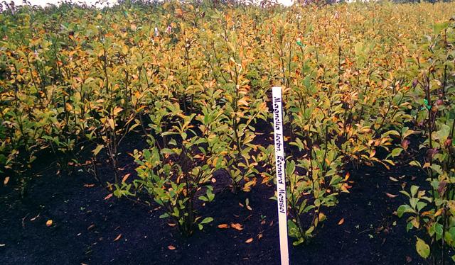Magnolia at Pannebakker & Co Nursery Holland