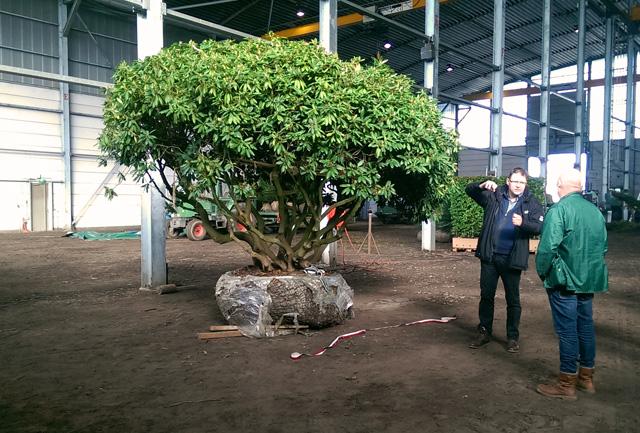 Specimen Rhododendron at Van Den Berg Nursery Lisa Cox Garden Designs