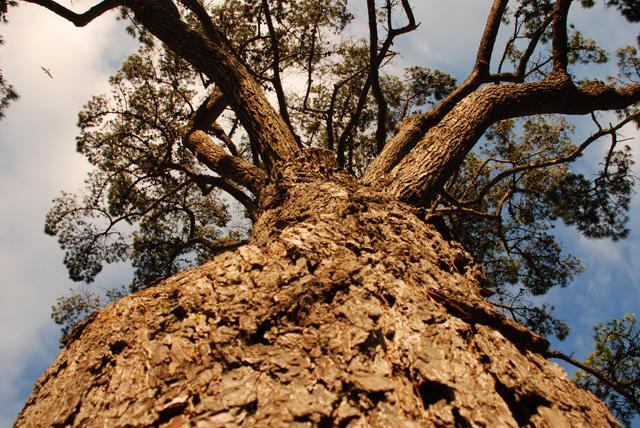 Pine tree at Lyme Regis Lisa Cox Garden Designs