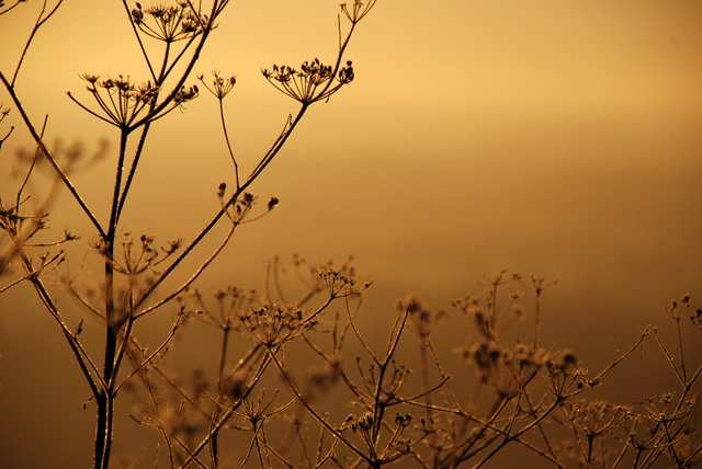 Cow parsley Box Hill frosty morning Lisa Cox Garden Designs