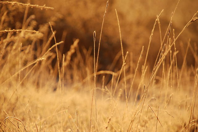 Golden grass at sunrise Box Hill Lisa Cox Garden Designs