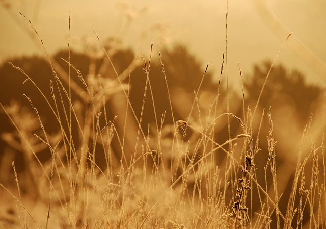 Golden grass at sunrise Lisa Cox Garden Desighns