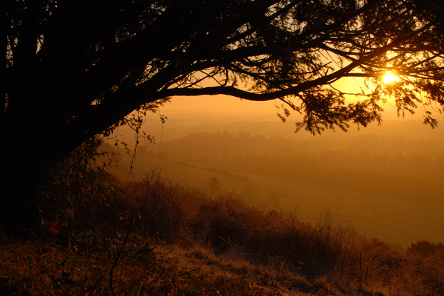 Majestic yew tree Box Hill early morning Lisa Cox Garden Designs