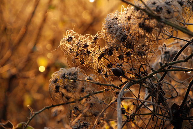 Old Man's Beard at sunrise Lisa Cox Garden Designs