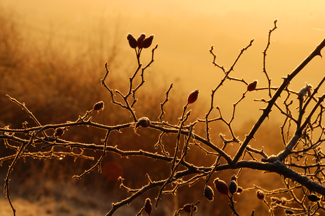 Rose hips at dawn Lisa Cox Garden Designs