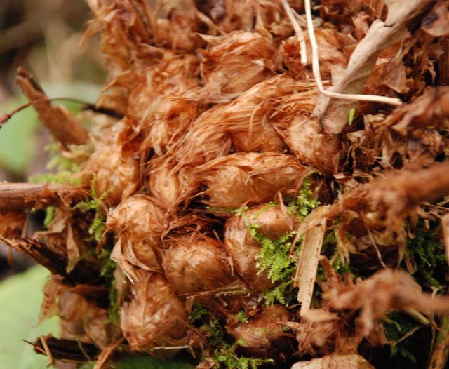 Perennial Fern Lisa Cox Garden Designs