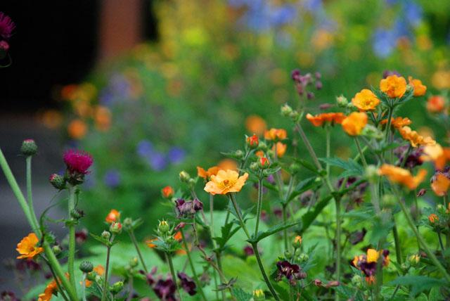 RHS Chelsea Flower Show geums in Homebase garden Lisa Cox
