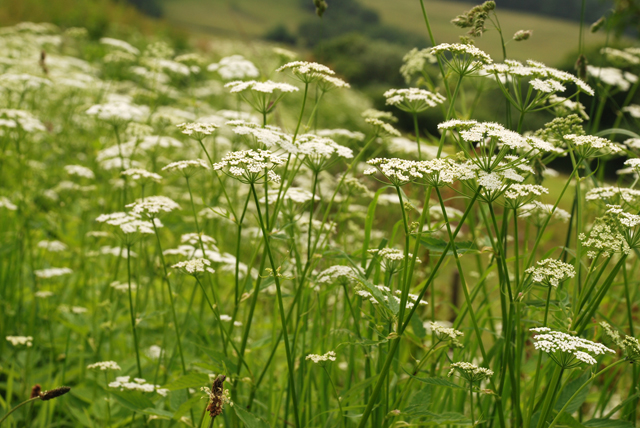 Ground elder in flower Lisa Cox Garden Designs