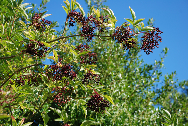 Elderberries Lisa Cox Garden Designs