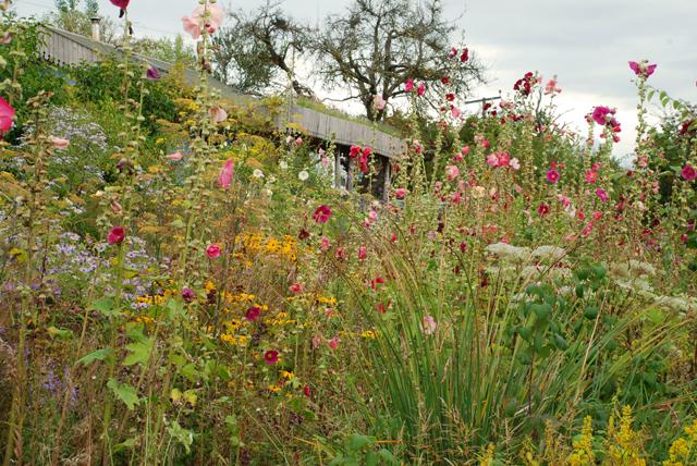 Hollyhocks in Montpelier Cottage garden Lisa Cox Designs