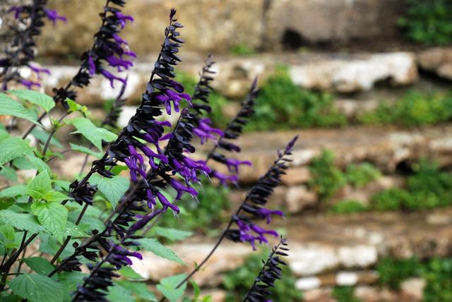Salvia at Peto Garden Iford Manor Lisa Cox Designs