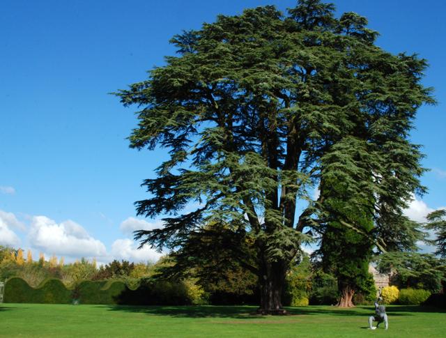 Majestic Cedar at Hampton Court Castle Lisa Cox