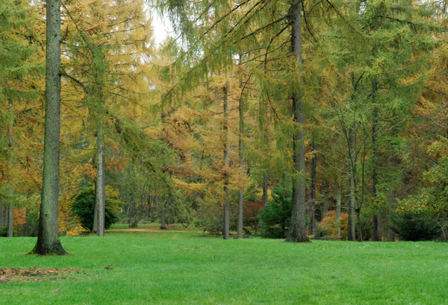 Autumn larch at Westonbirt Arboretum Lisa Cox