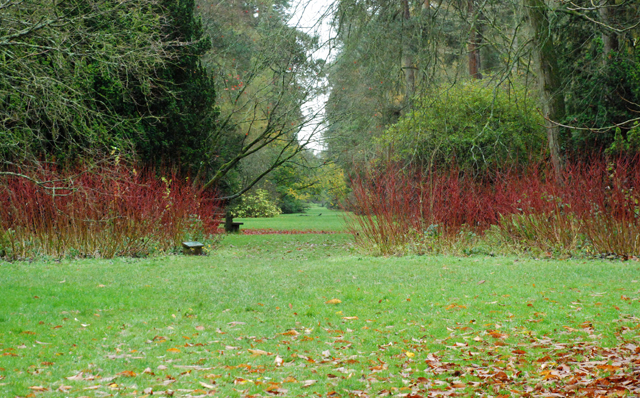 Cornus at Westonbirt Lisa Cox Designs
