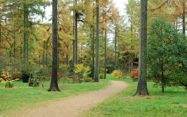 Larch and Japanese Acers at Westonbirt arboretum Lisa Cox