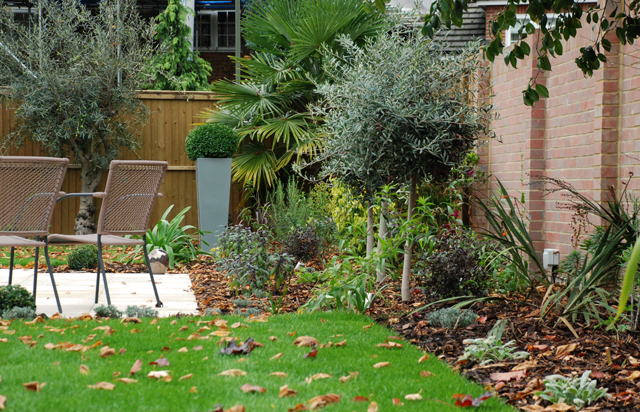 Olive trees and planters in Weybridge garden Lisa Cox Designs