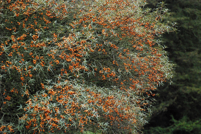 Sea Buckthorn berries at Westonbirt Lisa Cox Designs