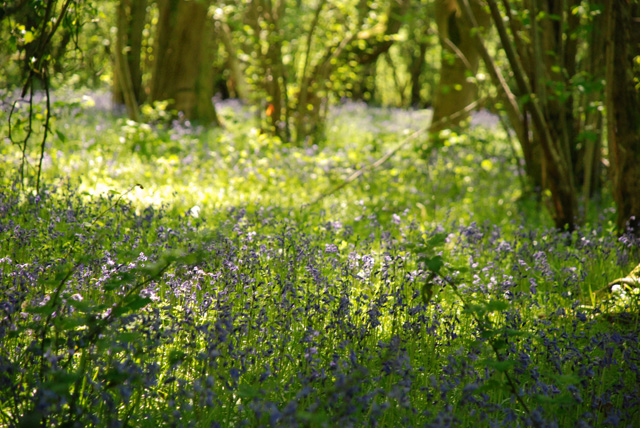 Bluebell wood Lisa Cox Garden Designs