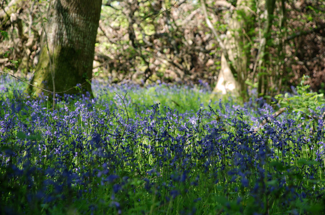 Bluebell wood near Kilgwrrwg Lisa Cox Garden Designs