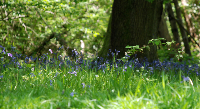 Bluebell wood near Kilgwrrwg church Lisa Cox Garden Designs