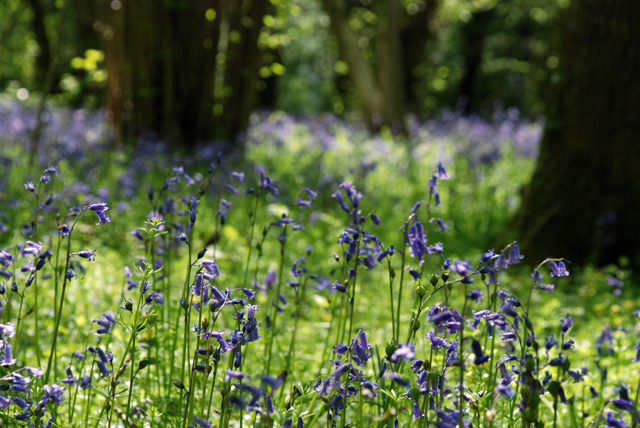 Bluebells in May Lisa Cox Garden Designs