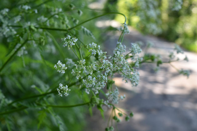 Cow Parsley Lisa Cox Garden Designs
