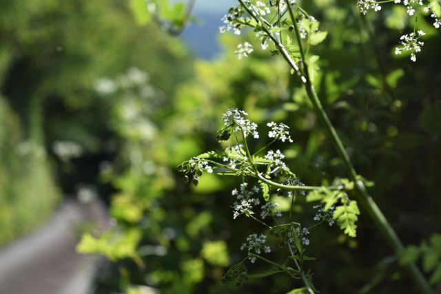 Cow Parsley in our lane Lisa Cox Garden Designs