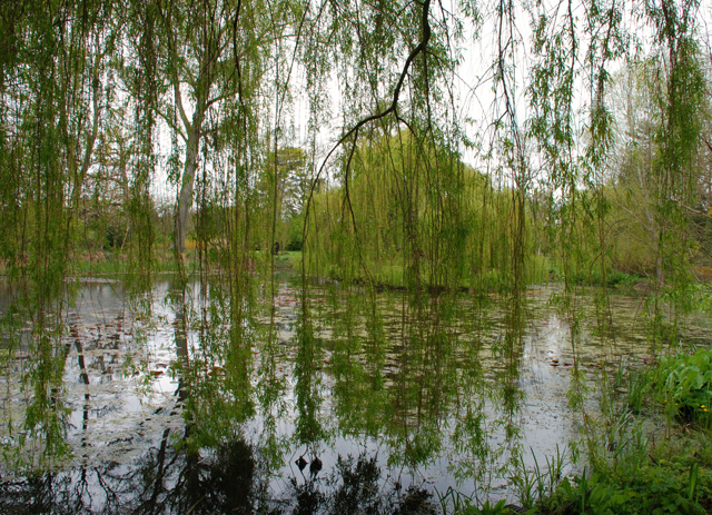 Weeping willow Monet garden Hignam House Lisa Cox