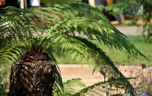 Tree Fern All The World's Stage RHS Hampton Court 2016 Lisa Cox
