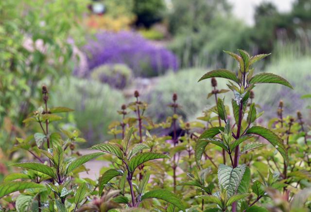 Mint at Jekka's Herb Farm Lisa Cox Garden Designs