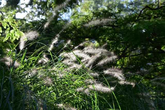 pennisetum-in-jubilee-park-lisa-cox-garden-designs