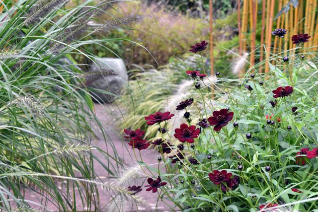 cosmos-in-the-courtyard-at-barn-house-garden-brockweir-lisa-cox